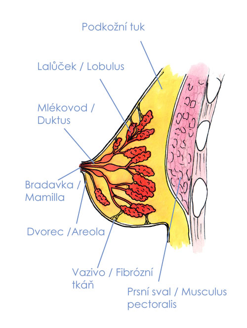 Anatomie prsu